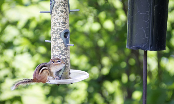 Thimbleanna: Fat Little Chipmunk